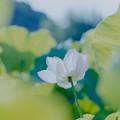 写真: 中井蓮池の里【蓮の花】2-5