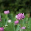 写真: 中井蓮池の里【蓮の花】3-3