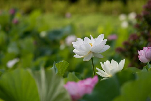 中井蓮池の里【蓮の花】3-4