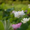 写真: 中井蓮池の里【蓮の花】3-4
