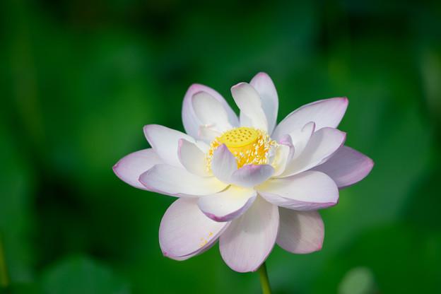 中井蓮池の里【蓮の花】3-6