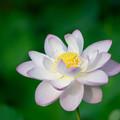 写真: 中井蓮池の里【蓮の花】3-6