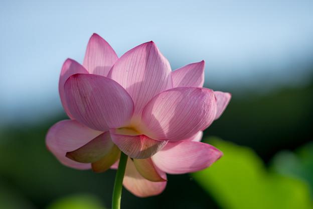 写真: 中井蓮池の里【蓮の花】3-7