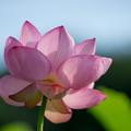 中井蓮池の里【蓮の花】3-7