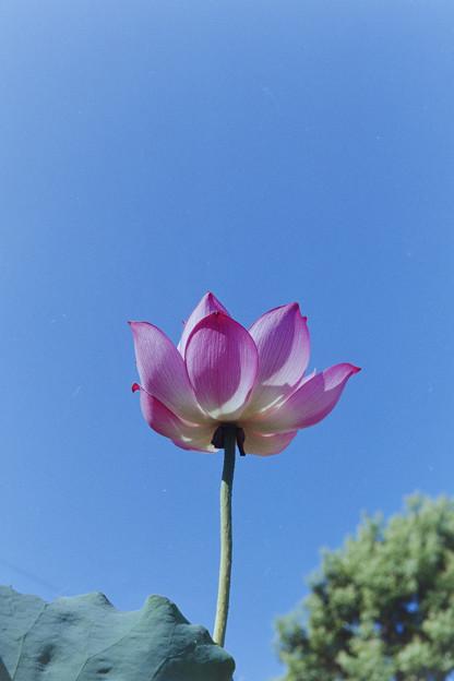 要法寺【蓮の花】2