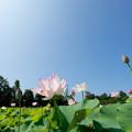 写真: 花菜ガーデン【蓮の花】1