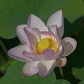 写真: 花菜ガーデン【蓮の花】6