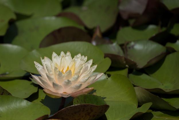 花菜ガーデン【睡蓮】3