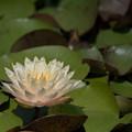 写真: 花菜ガーデン【睡蓮】3
