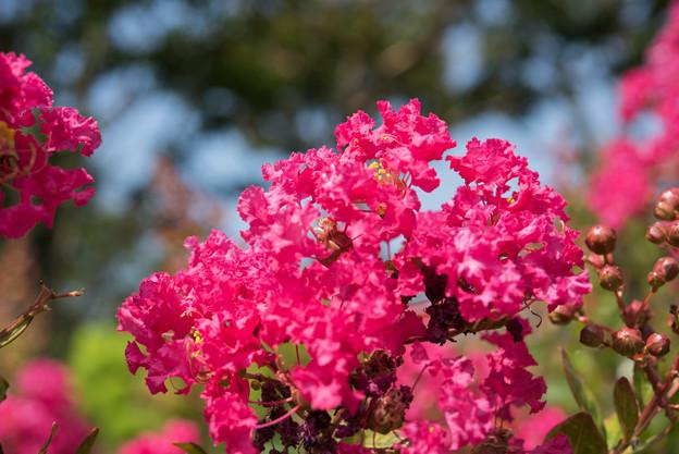 花菜ガーデン【百日紅】3
