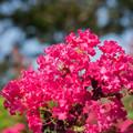 写真: 花菜ガーデン【百日紅】3