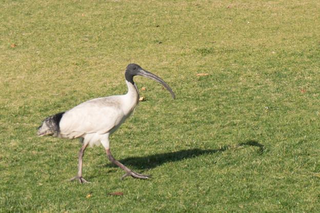 シドニー市内【Cathy Freeman Park:オーストラリアクロトキ】