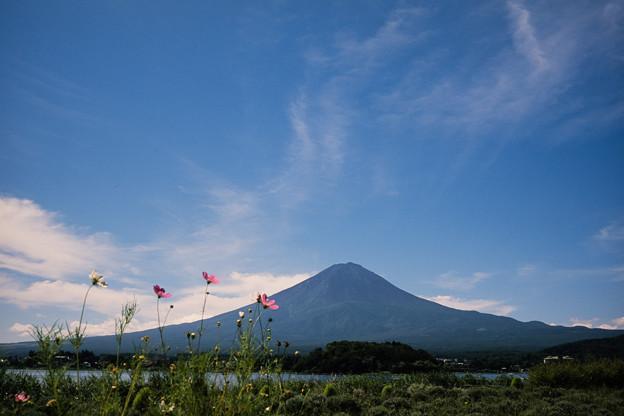 富士五湖巡り【河口湖自然生活館:富士とコスモス】
