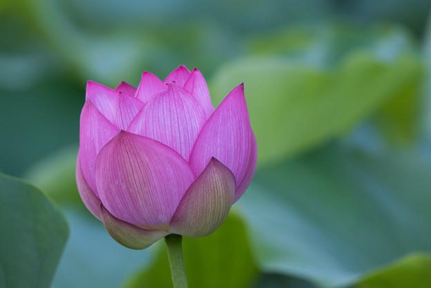 薬師池公園【蓮の花】2