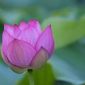 写真: 薬師池公園【蓮の花】2