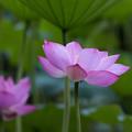薬師池公園【蓮の花】4