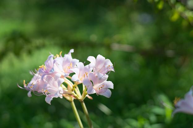 花菜ガーデン【リコリス_3_f1.4】Planar85mm