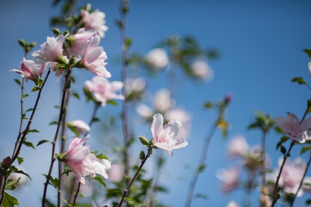 花菜ガーデン【ムクゲ_1_f2.0】DC-Nikkor135mm