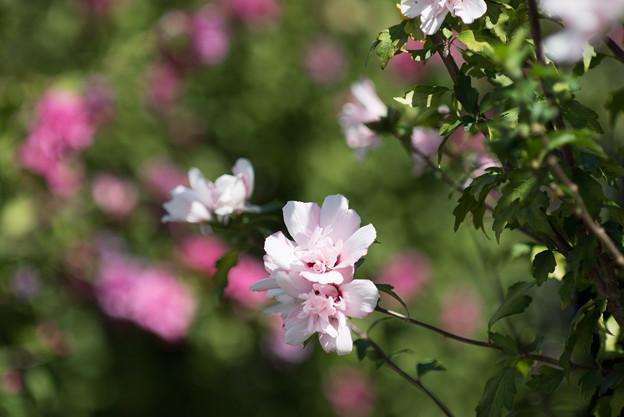花菜ガーデン【ムクゲ_2_f2.8】DC-Nikkor135mm