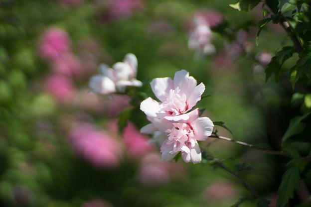 花菜ガーデン【ムクゲ_2_f1.4】Planar85mm