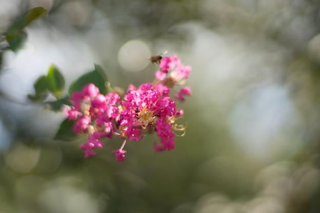 花菜ガーデン【サルスベリ_2_f1.4】Planar85mm