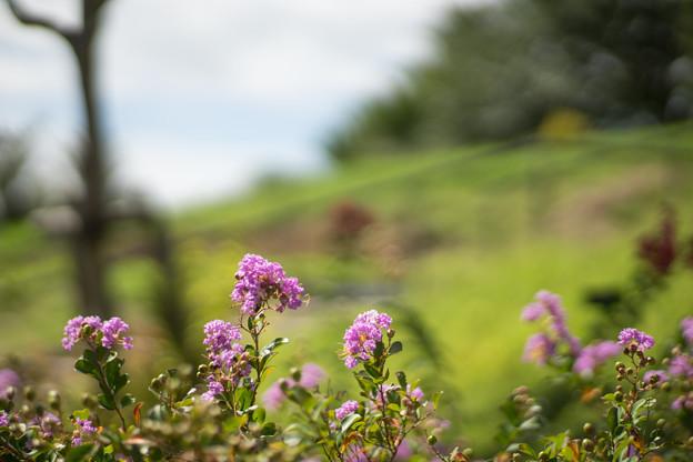 花菜ガーデン【サルスベリ_3_f1.4】Planar85mm