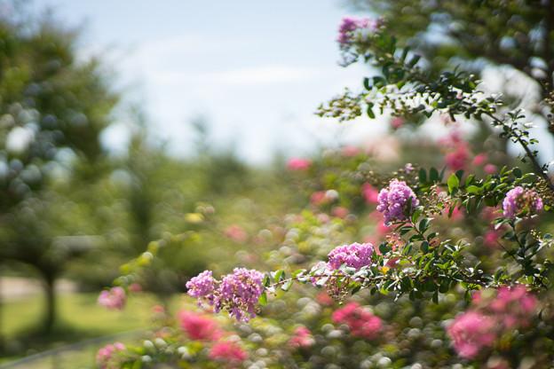 花菜ガーデン【サルスベリ_5_f1.4】Planar85mm