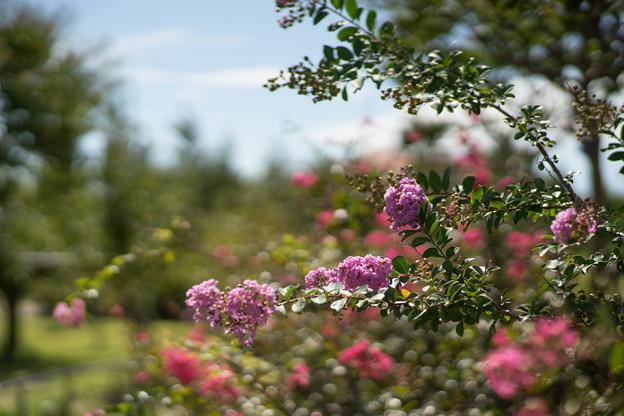 花菜ガーデン【サルスベリ_5_f2.0】Planar85mm