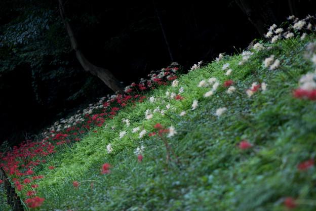 泉の森公園【彼岸花】02