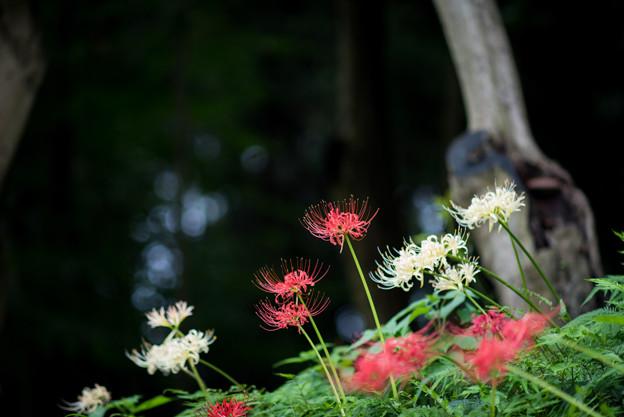 泉の森公園【彼岸花】06