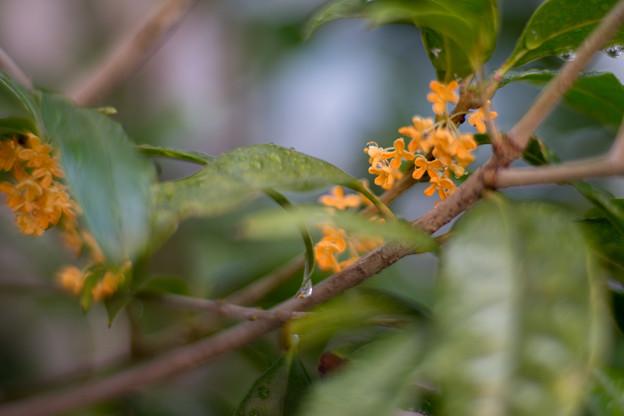 庭に咲いた花【金木犀】2