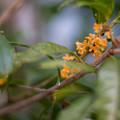 写真: 庭に咲いた花【金木犀】2