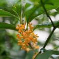 写真: 庭に咲いた花【金木犀】5