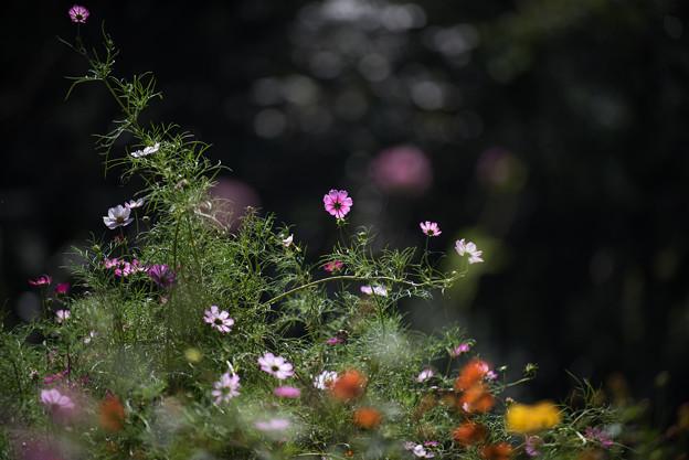 里山ガーデン【コスモス】1