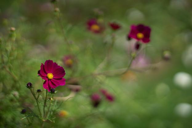 里山ガーデン【コスモス】3