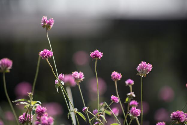 里山ガーデン【センニチコウ】1