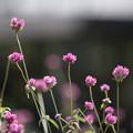 Photos: 里山ガーデン【センニチコウ】1