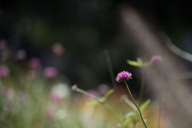 里山ガーデン【センニチコウ】2