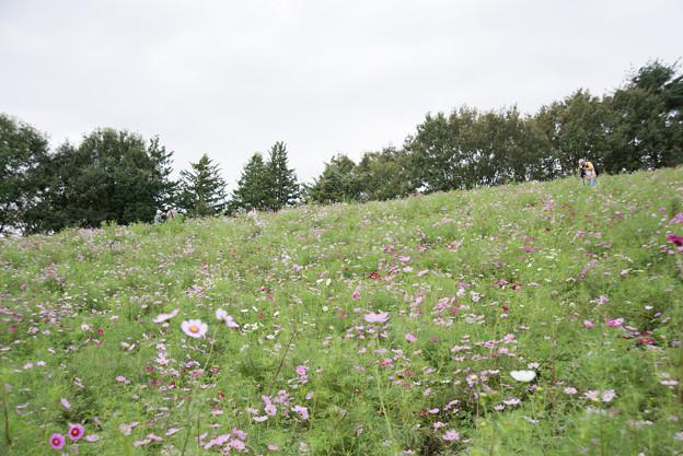 昭和記念公園【花の丘のコスモス】1-1