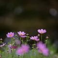 昭和記念公園【花の丘のコスモス】1-2