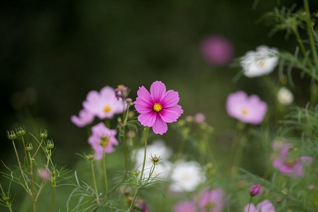 昭和記念公園【花の丘のコスモス】1-4