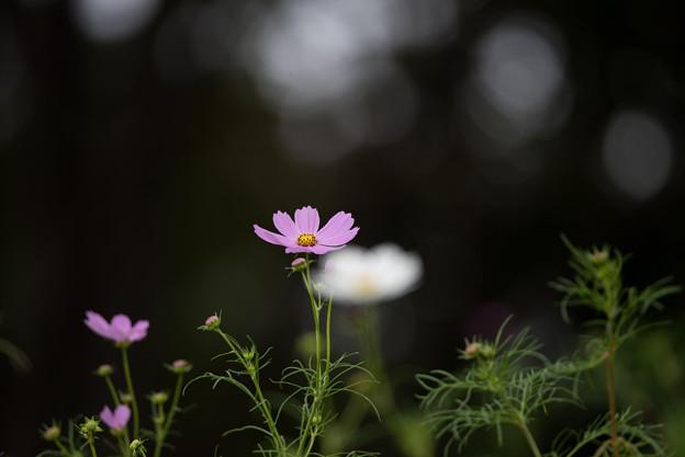 昭和記念公園【花の丘のコスモス】1-8