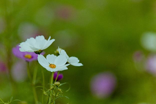 昭和記念公園【花の丘のコスモス】2-4