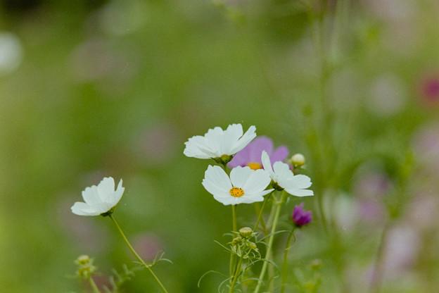 昭和記念公園【花の丘のコスモス】2-6