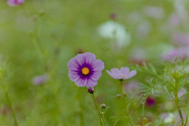 昭和記念公園【花の丘のコスモス】2-8