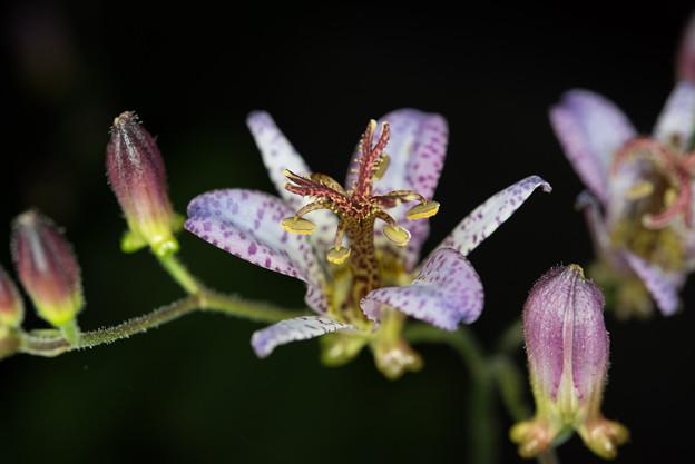 庭に咲く花【ホトトギス】2