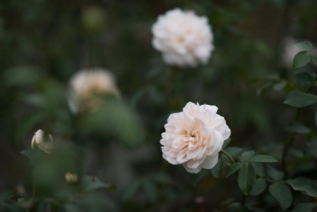 写真: 生田緑地ばら苑【バラ:リッチフィールド・エンジェル】1_DC_135mm_f2