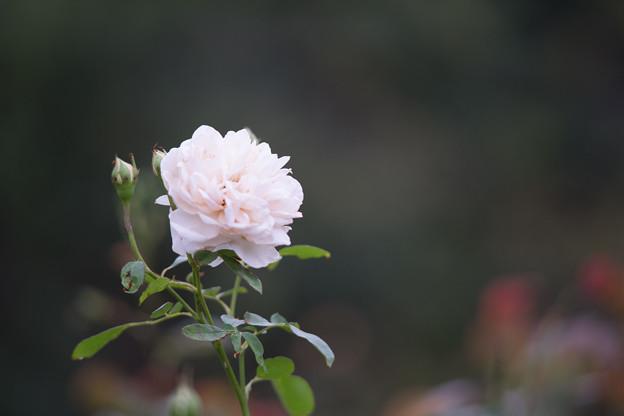 生田緑地ばら苑【バラ:リッチフィールド・エンジェル】4_Ai_180mm_f2.8