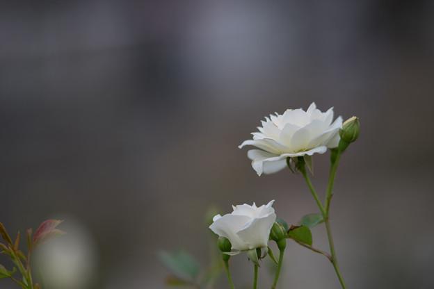生田緑地ばら苑【バラ:アイスバーグ】_Ai_180mm_f2.8