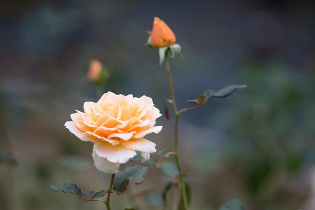 生田緑地ばら苑【バラ:ジャスト・ジョイ】1_Ai_180mm_f2.8